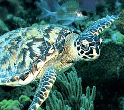 Green Turtle.jpg