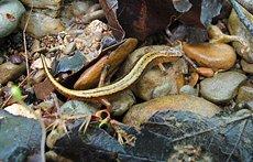 vaglia_salamander.jpg